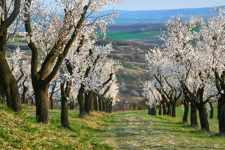 Almond-farm
