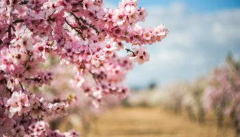 Spring blossom orchard. Beautiful nature scene with blooming tree and sun flare.