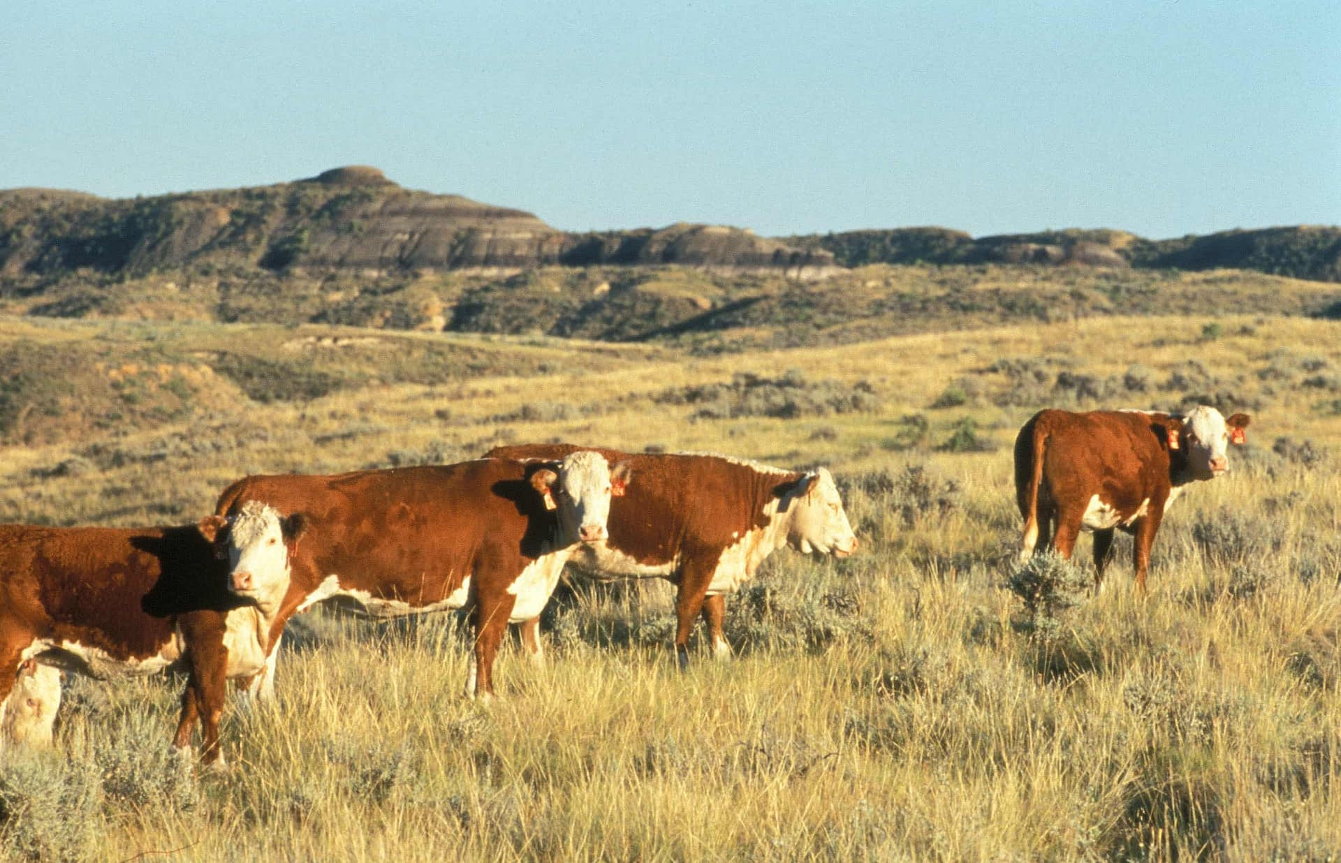 Direct emissions from cattle (enteric fermentation and manure) accounts for nearly 9% of global CO2e emissions.