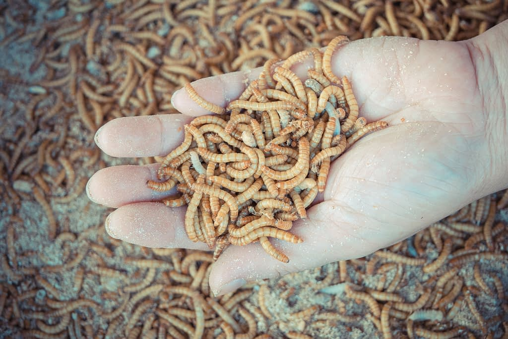 insect larvae: creating a circular food economy