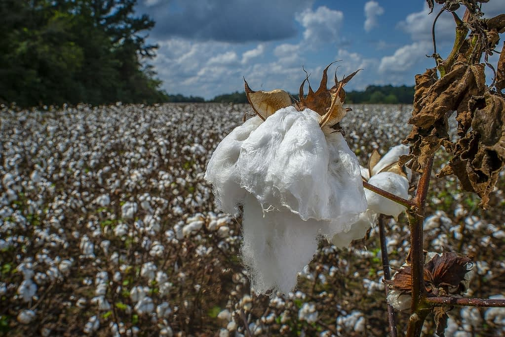 environmental impact of cotton bags